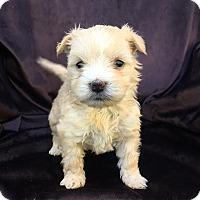 Adopt A Pet :: Marcia - santa monica, CA