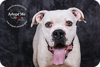 Boxer Mix Dog for adoption in Cincinnati, Ohio - Zeus $14