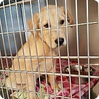 Adopt A Pet :: Buddy $250 - Seneca, SC