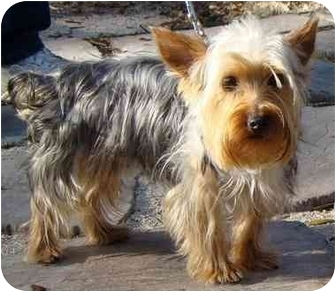 Yorkie, Yorkshire Terrier Dog for adoption in The Villages, Florida - Bailey
