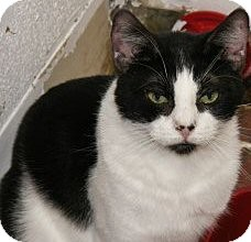 Domestic Shorthair Cat for adoption in Ridgecrest, California - Shieke