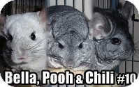 Chinchilla for adoption in Virginia Beach, Virginia - Bella, Pooh, Chili #10