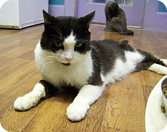 Domestic Shorthair Cat for adoption in Dover, Ohio - Ike