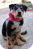 Catahoula Leopard Dog Mix Puppy for adoption in Justin, Texas - Claire