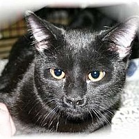 Domestic Shorthair Cat for adoption in Montgomery, Illinois - Magic