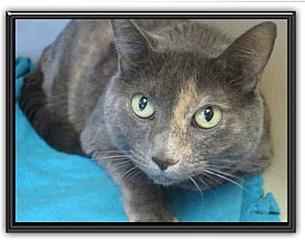 Domestic Shorthair Cat for adoption in Cerritos, California - Molly