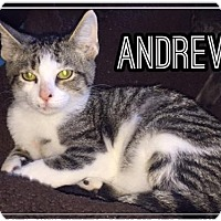 Adopt A Pet :: Andrew - Olive Branch, MS