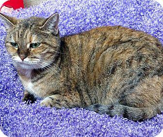 Domestic Shorthair Cat for adoption in Fremont, Ohio - Iris