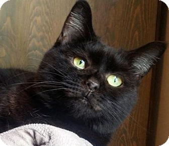 Domestic Shorthair Cat for adoption in Johnson City, Tennessee - Rosalyn