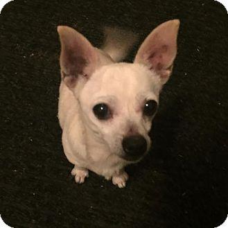 Chihuahua Dog for adoption in Columbia, Maryland - Sandra Dee