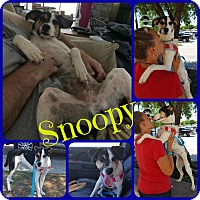 Beagle/Rat Terrier Mix Dog for adoption in Ft Worth, Texas - Snoopy