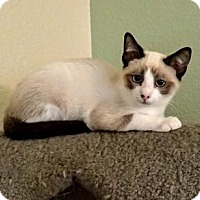 Domestic Shorthair Cat for adoption in San Jose, California - Bailey