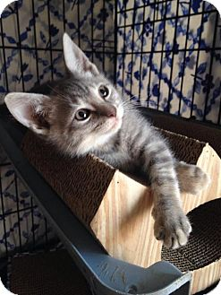 American Shorthair Kitten for adoption in Ephrata, Pennsylvania - Lettie