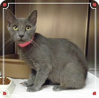 Domestic Shorthair Cat for adoption in Marietta, Georgia - IVY