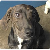 Adopt A Pet :: Haley - Springdale, AR