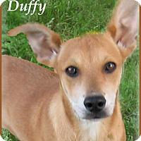 Adopt A Pet :: Duffy-One Sweet Pup - Marlborough, MA