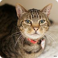 Adopt A Pet :: Pacino - East Hartford, CT