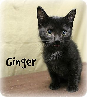 Domestic Shorthair Kitten for adoption in Melbourne, Kentucky - Ginger