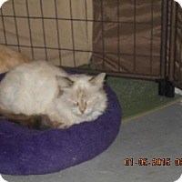 Siamese Cat for adoption in Orlando, Florida - Drizzy A