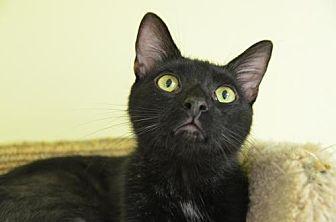 Domestic Shorthair Cat for adoption in Atlanta, Georgia - Berts 131134