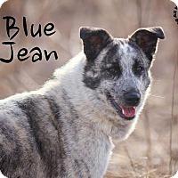 Adopt A Pet :: Blue Jean - Joliet, IL