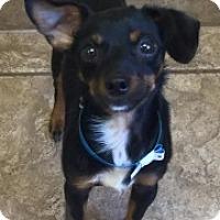 Adopt A Pet :: Wobbles 110746 - Joplin, MO