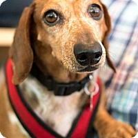 Adopt A Pet :: Sophie Loren - Los Angeles, CA