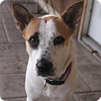 Cattle Dog Mix Dog for adoption in Phoenix, Arizona - Cashmere