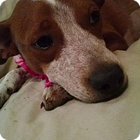 English Springer Spaniel/Beagle Mix Puppy for adoption in knoxville, Tennessee - SCOUT