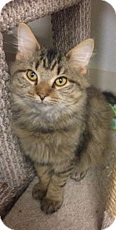 Maine Coon Cat for adoption in Georgetown, Kentucky - Babbles