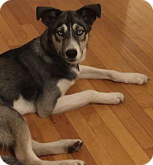 Husky Mix Dog for adoption in Crystal Lake, Illinois - Raven