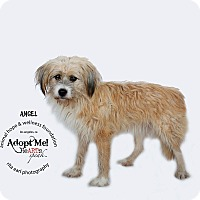 Adopt A Pet :: ANGEL - Sherman Oaks, CA