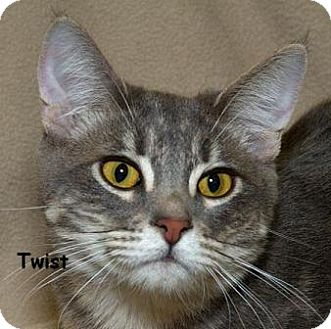 Domestic Mediumhair Cat for adoption in Sacramento, California - Twist N