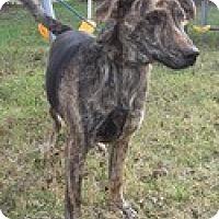 Adopt A Pet :: Apollo (Urgent) $200 adopt.fee - Brattleboro, VT