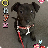 Adopt A Pet :: Onyx - Burr Ridge, IL