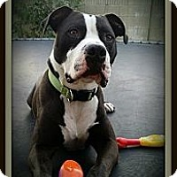 Adopt A Pet :: Butch - Huntington Beach, CA