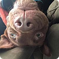 Adopt A Pet :: Al - Arlington, VA