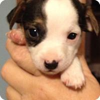 Adopt A Pet :: Petey - Gilbert, AZ