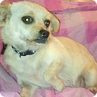 Adopt A Pet :: Sierra - Lebanon, CT