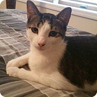 Domestic Shorthair Cat for adoption in Ardsley, New York - MIKEY FKA Astro