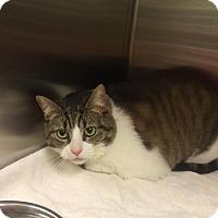 Domestic Shorthair Cat for adoption in Columbus, Georgia - Hazel 2564