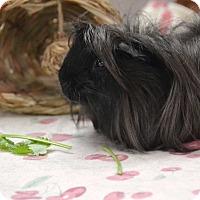 Adopt A Pet :: Zuzu - Brooklyn, NY
