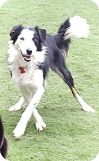 Border Collie Dog for adoption in Highland, Illinois - Daisy
