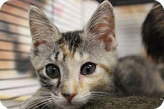 Domestic Shorthair Kitten for adoption in Sarasota, Florida - Giselle