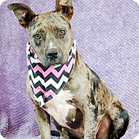 Catahoula Leopard Dog Mix Dog for adoption in Allen town, Pennsylvania - April