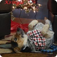 Australian Cattle Dog Mix Dog for adoption in Bucyrus, Ohio - Kringle