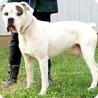 Adopt A Pet :: BALOO(GORGEOUS PB BOXER! SMART - Wakefield, RI