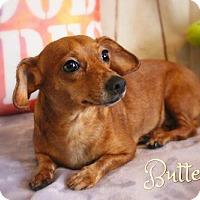 Adopt A Pet :: Butternut - Benton, LA