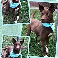 Adopt A Pet :: MARNI - Lexington, NC