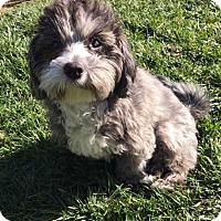 Adopt A Pet :: Olive Oyl - San Diego, CA